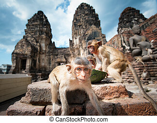 lopburi, thailand., singe, (, crab-eating, ou, long-tailed,...