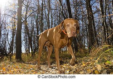 lopende met hond, jacht, bos