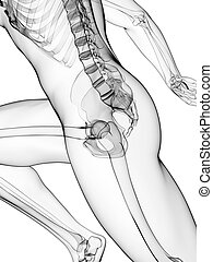 loper, anatomie