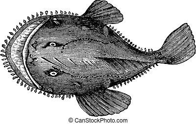 lophius, vendemmia, anglerfish, americano, americanus., o, engraving.