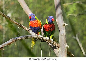 lorikeet birds on a branch