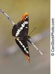 Lorquin Admiral Butterfly
