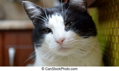 ?lose-up portrait of black and white cat. Looks around and...