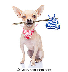 chihuahua dog ready to run away ,ready for adoption, isoalted on white background