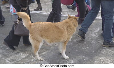 Lost Red dog with collar looking for a host in a crowd of people