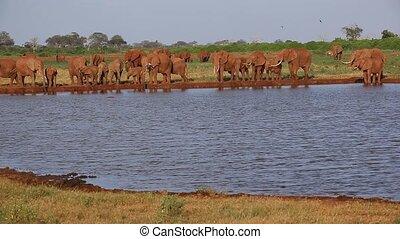 lot, éléphant, waterhole, kenya, rouges