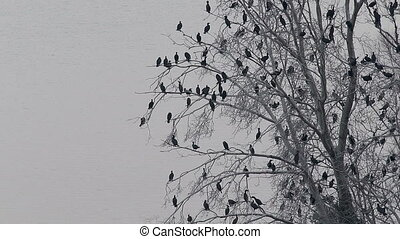 Lot Cormorant birds (Microcarbo niger) resting on dry tree