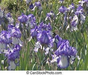 Lot of blue iris flowers blooming