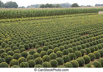 lot of buxus trees in a field in rows