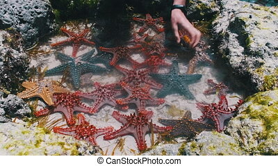 Lot of Colorful Starfish Lies in a Natural Coral Aquarium on the Ocean Shore