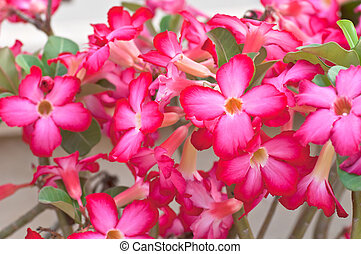 desert rose - lot of desert rose flowers