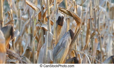Lot of dried corn on the field. Yellow ripe corn growing on...