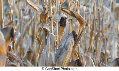Lot of dried corn on the field. Yellow ripe corn growing on...