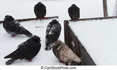 Lot of gray frozen pigeons sitting on a snowy trash box