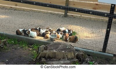 lot of guinea pigs eating grass in zoo cage.