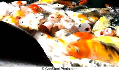 Lot of hungry orange fish koi in pond at sunny summer day,...