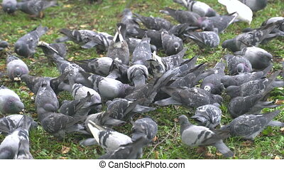 Lot of mad pigeons in city park.