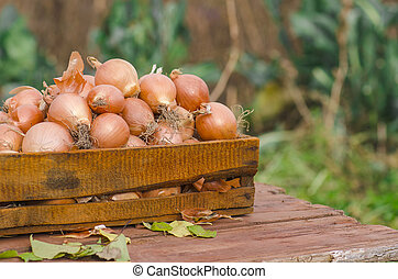 Lot of onions in crate.