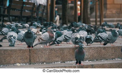 Lot of Pigeons Eat Food on the City Street in Slow Motion -...