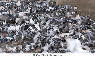Lot of Pigeons Eat Food on the Street