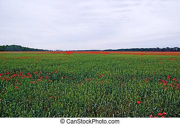 Lot of red poppys among green dye on the field.