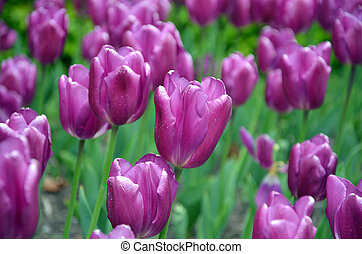 lot of violet tulip flowers flowerbed in the park