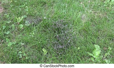 lot of winged ants walk on grass and fly up. Insect nest during swarm mate seaso