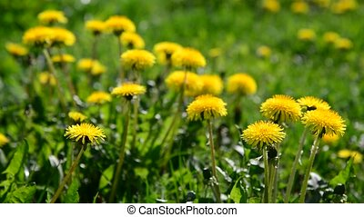 lot of yellow dandelions in meadow