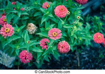 lote, comunidad, tejas, zinnia, cama, flor, flor, arbusto, ...