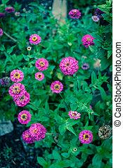 lote, comunidad, tejas, zinnia, cama, flor, violeta, arbusto...