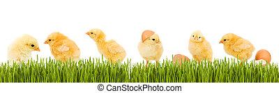 lotes, de, bebé pollo, y, fresco, hierba verde