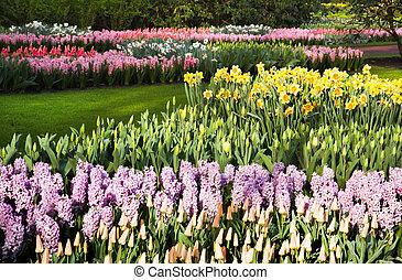 lotes, de, tulipanes, narcisos, y, jacintos, en, primavera