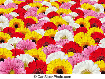 lotes, flores, fundo, coloridos, gerbera