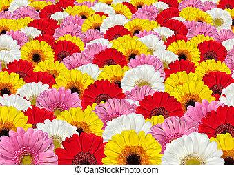 lotes, flores, plano de fondo, colorido, gerbera