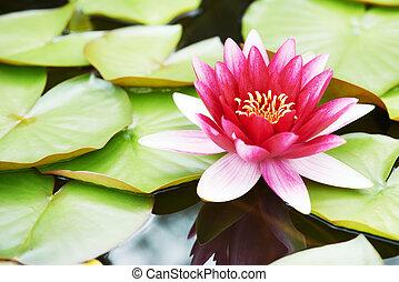 loto, agua, flor, lirio