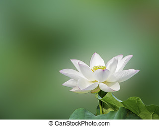 loto, fiore