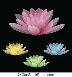 loto, fiori, nero, isolato, fondo