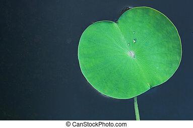 loto, foglia verde