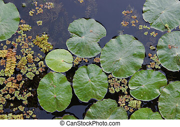 loto, planta, acuático, hoja, lago