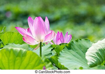 loto, verão, flor, flor