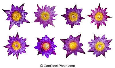 loto, viola, collezione, fondo., otto, fiori bianchi