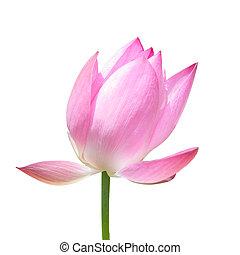 lotos, biały kwiat, odizolowany