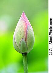 lotos, knospe