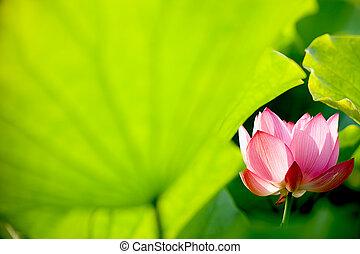 lotos, schöne