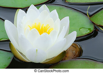 Lotos - White water lily bloom wet from rain and green ...