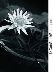 Lotos - White water-lily with leaves isolated from dark ...
