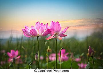 lotosowy kwiat, w, zachód słońca