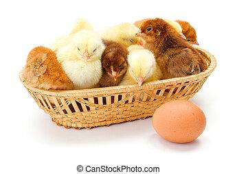 lots, новорожденный, chickens, корзина, плетеный