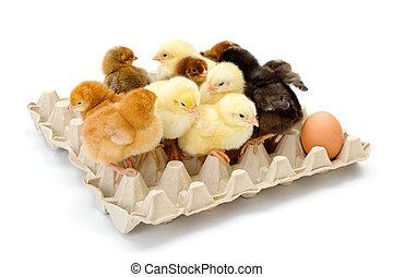 lots, chickens, лоток, яйцо, новорожденный