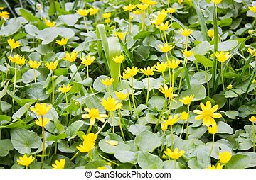 Lots little yellow spring flowers